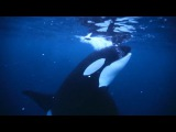 National Geographic on Instagram Video footage by @paulnicklen  Orcas stun and kill herring by swatting their tails through the school of densely packed fish. I knew that