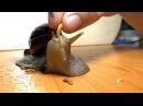 Ахатина ест рыбий корм / Snail eatin' fish food