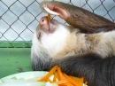 Ленивец обедает - lazybones