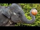 Цирк слонов в Тайланде. Слоны в цирке играют в баскетбол. Elephants in the circus playing basketball