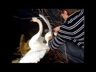Short Version Watch People Rescue Entangled Swans Спасение Лебедей. Gulbju izglābšana.