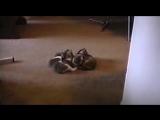 Пугливые коты