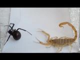 Смертельная битва, Скорпион vs Паук Черная Вдова, кто кого