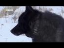 Восхождение чёрного волка HD дикий мир и поведение животных в нем.