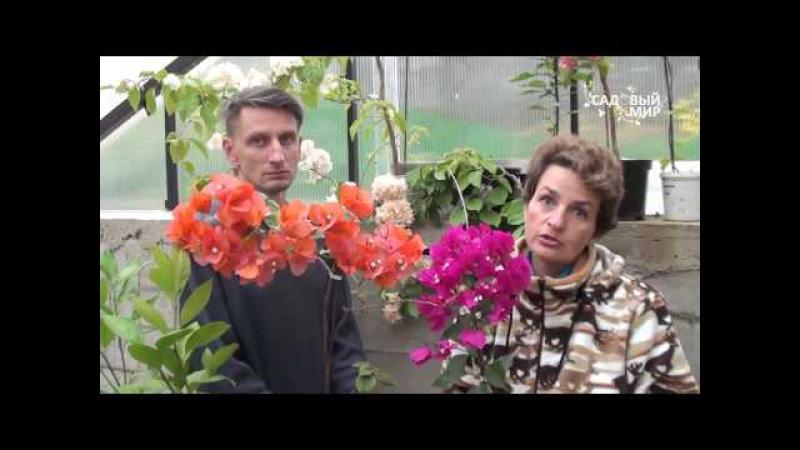 Редкие комнатные цветы.Как вырастить бугенвилию дома. Сайт Садовый мир