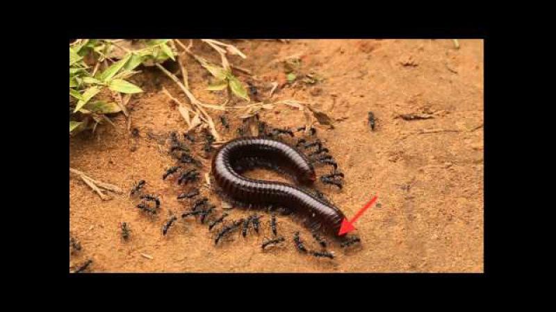 Daisy chain blue ants killing giant millipede in Cambodia! - ORIGINAL