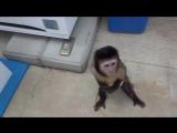 Как обезьяна покупает сок
