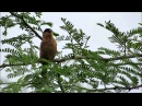 Copper seedeater / Оранжевая вьюрковая овсянка / Sporophila bouvreuil