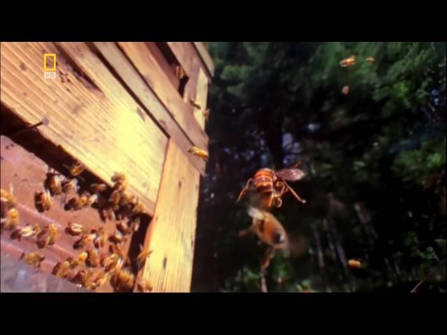 Европейские Пчёлы против Азиатских Шершней