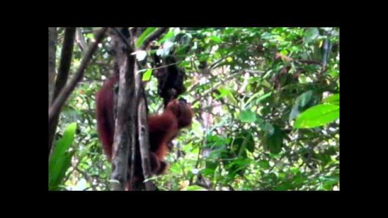 Semenggoh orangutans wildlife centre Borneo Kuching Sarawak