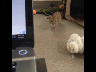 Little Lynx vs Web Camera