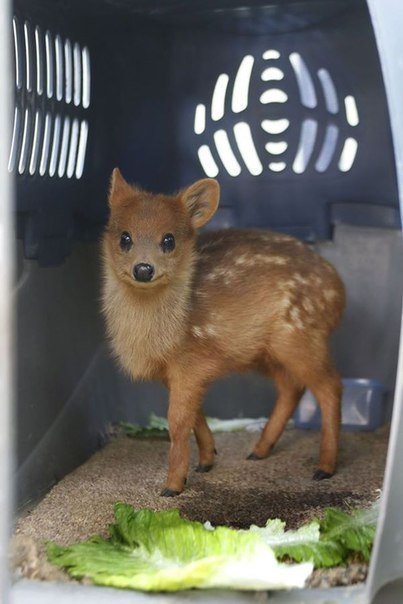 Немного мимишности: Пуду - самые маленькие олени в мире