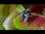 DIONAEAS.COM - Хищное растение Венерина мухоловка - Дионея (Dionaea muscipula)