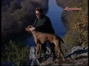 Друг охотника Выжла Венгерю к/шёрстная легавая