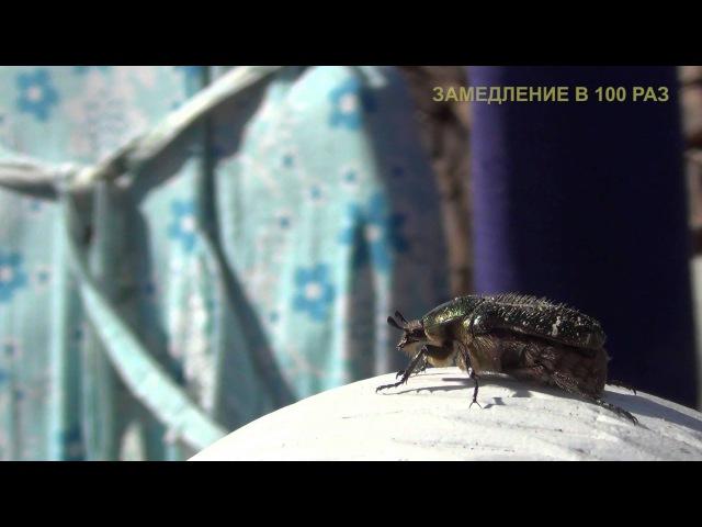 Занимательная энтомология. Взлёт жука Бронзовки.