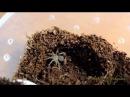 Brachypelma albopilosum vs Nauphoeta cinerea первая охота