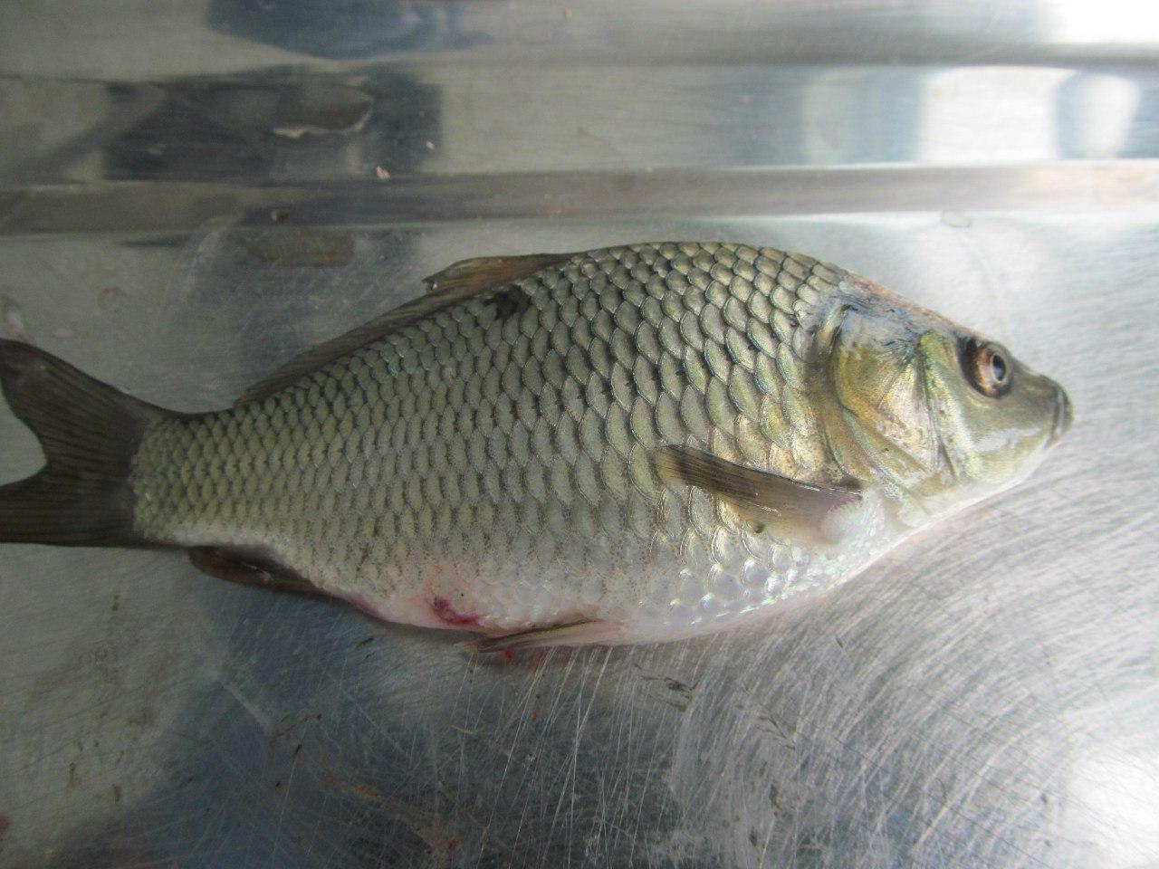 В двух рыборазводных хозяйствах Ростовской области введен карантин по ботриоцефалезу рыб