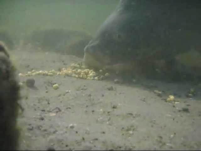 Unterwasseraufnahme Karpfen/Graser