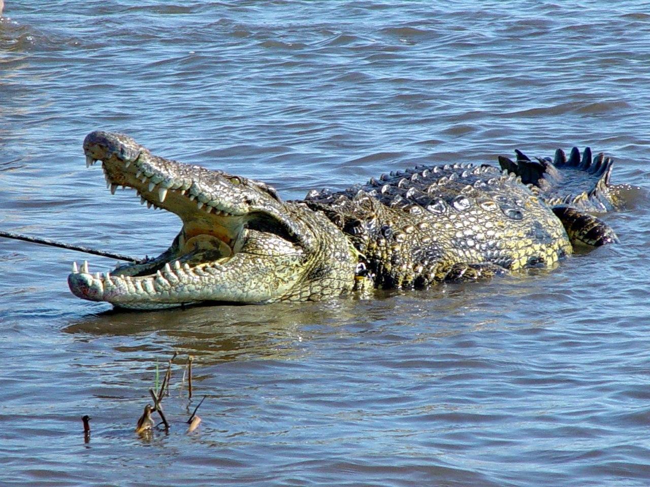 В Ростовской области в реке Дон выловили нильского полутораметрового крокодила