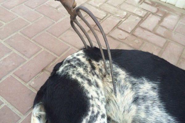 В Ростовской области неизвестные вонзили вилы в домашнюю собаку