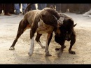 Собачьи БОИ Питбуль vs Питбуль/Dogfights Pitbull vs Pitbull