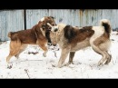 Собачьи БОИ Алабай vs Алабай/Dogfights Central Asian Shepherd Dog vs Central Asian Shepherd Dog
