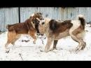 Собачьи БОИ Алабай vs Алабай/Dogfights Central Asian Shepherd Dog vs Central Asian Shepherd Dog