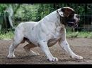 Собачьи БОИ Американский Бульдог vs Ротвейлер/Dogfights American Bulldog vs Rottweiler
