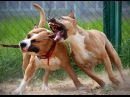 Собачьи БОИ Стаффорд vs Питбуль/Dogfights Staffordshire Terrier vs Pitbull