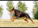 Собачьи БОИ Немецкая овчарка vs Доберман/Dogfights Deutscher Schäferhund vs Doberman