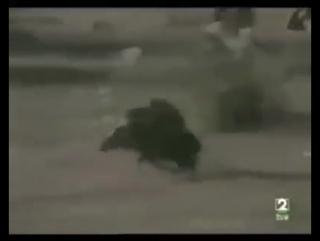 Охота с обезьянами на кабанов ОРИГИНАЛЬНОЕ ВИДЕО