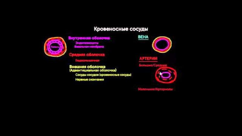 Слои кровеносного сосуда