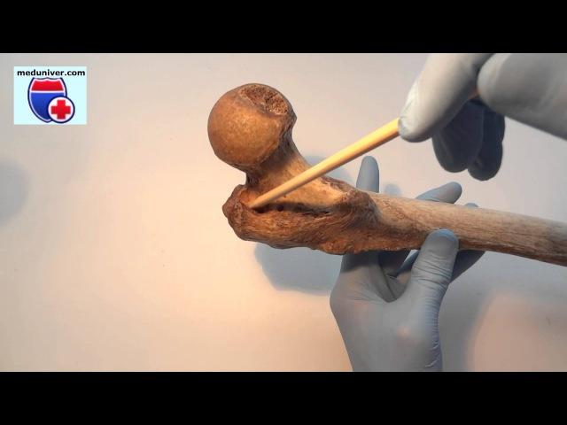 Femur. Нормальная анатомия бедренной кости - meduniver.com