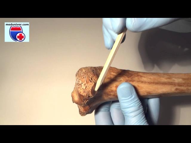 Tibia. Нормальная анатомия большеберцовой кости - meduniver.com