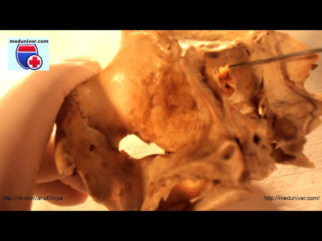 Os palatinum. Нормальная анатомия небной кости - meduniver.com