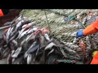 Обработка рыбы в море.