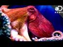 Understanding The Weird Anatomy Of An Octopus