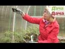 Как подвязывать помидоры томаты