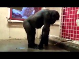 Уроки танцев с Гориллой (Lessons of dances with a gorilla)