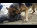 SHAN KRIV,СОБАЧИЙ БОЙ,DOG FIGHT...Немецкая овчарка HD