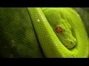 Анаконда : Самая большая в мире змея.Гиганты мира животных : Документальные фильмы HD