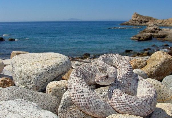 Островная гремучая змея