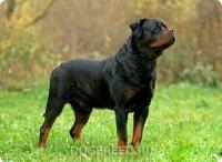 Ротвейлер - собака с сильно развитым охранным...