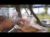 Качаем майский мед на пасеке