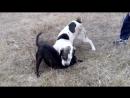 питбуль протев алабая собачий бой