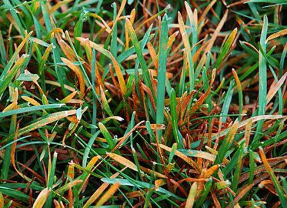 ржавчина газона