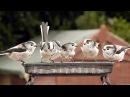 Длиннохвостая синица (аполлоновка, чумичка, ополовник) / Long-tailed Tit / Aegithalos caudatus