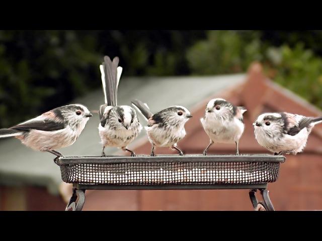 Длиннохвостая синица (аполлоновка, чумичка, ополовник) / Long-tailed Tit / Aegithalos caudatus » Freewka.com - Смотреть онлайн в хорощем качестве