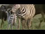 Тайный мир животных! Гиены, Львы | жестокий мир хищников