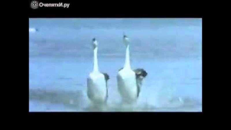 Лебеди класно танцуют лезгинку